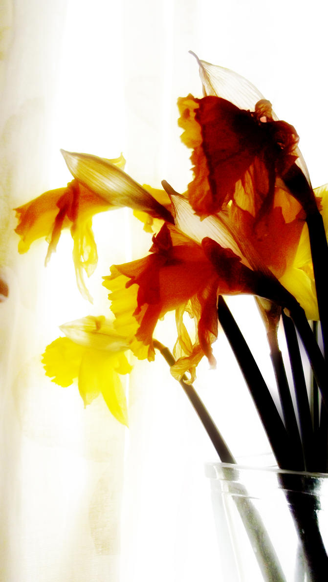 Old Daffodils by graphic-rusty