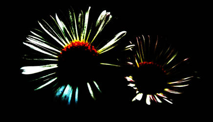 Fleabane Diasies by graphic-rusty