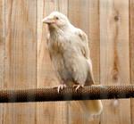 Rare white raven 1
