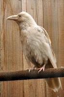 Rare white raven 2 by DarkBeforeDawn23