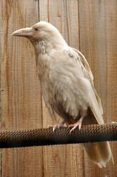 Rare white raven 2