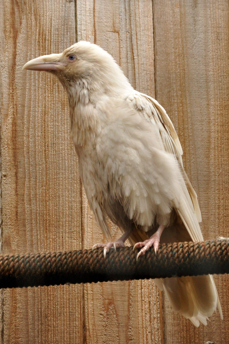 Rare white raven 2 by DarkBeforeDawn23