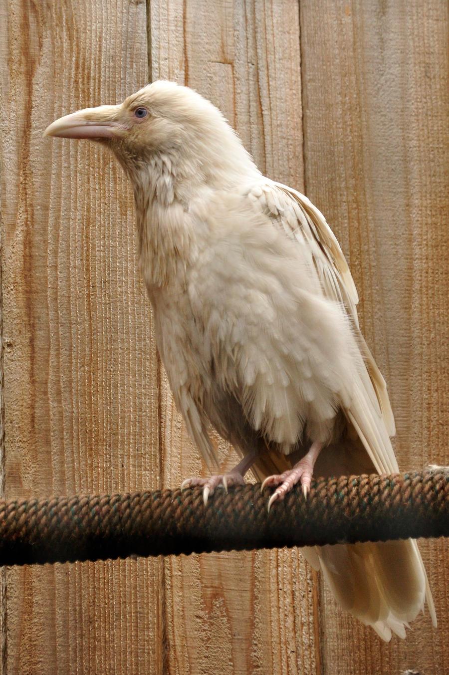 Rare white raven 2 by xxsimplicity-stock