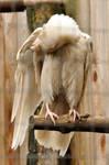 Rare white raven 3