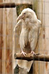 Rare white raven 4 by DarkBeforeDawn23