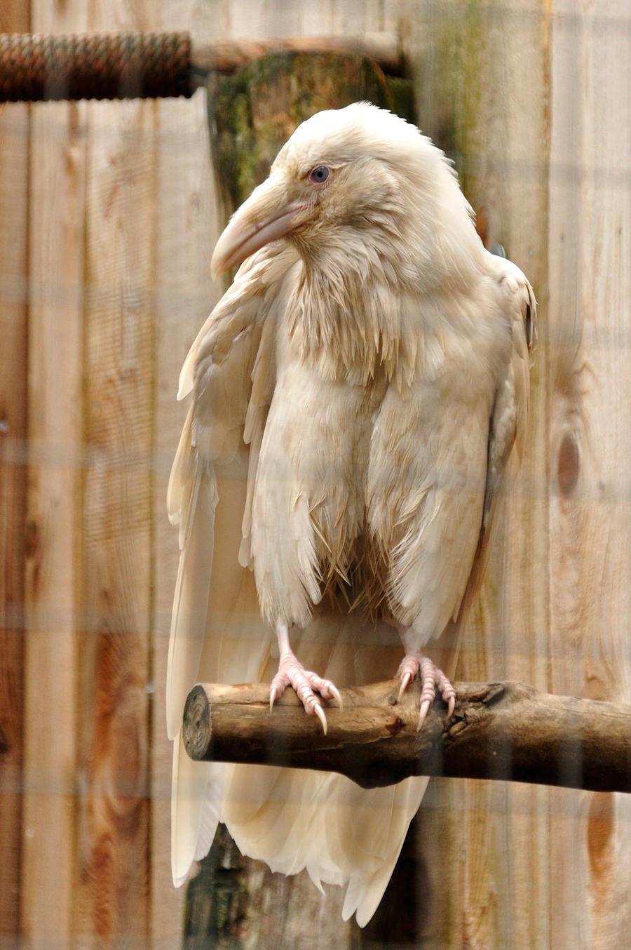 Albino crow - photo#23
