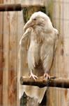 Rare white raven 4