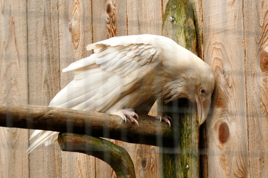 Rare white raven 5 by DarkBeforeDawn23
