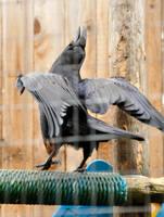 Raven dance 1 by DarkBeforeDawn23