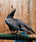 Raven dance 3