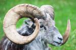 Ram Horns 2