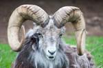 Ram Horns 4