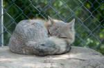 Sleeping fox 1