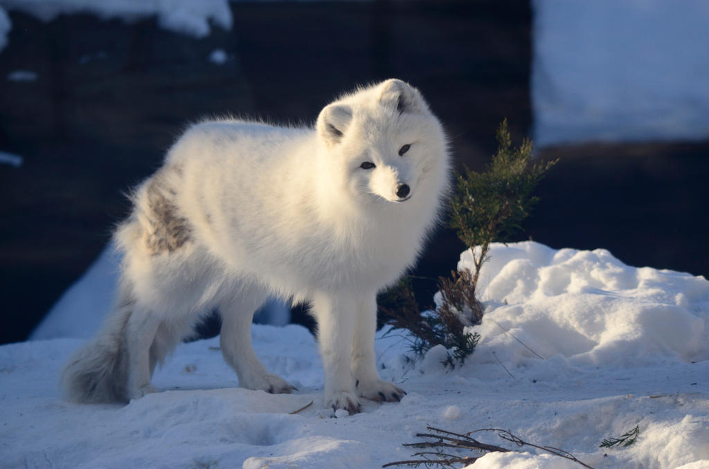 Snow Fox 6 by DarkBeforeDawn23