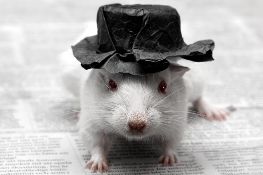 http://fc08.deviantart.net/fs70/i/2011/317/5/7/a_gerbil_and_his_hat_by_eriktjernlund-d4g2rzo.jpg