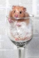 It's a Golden Hamster in a glass again by ErikTjernlund