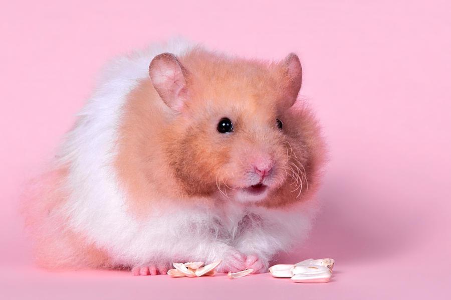 Huh? - Hamster by ErikTjernlund