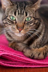 Gora the Photogenic Cat by Airini