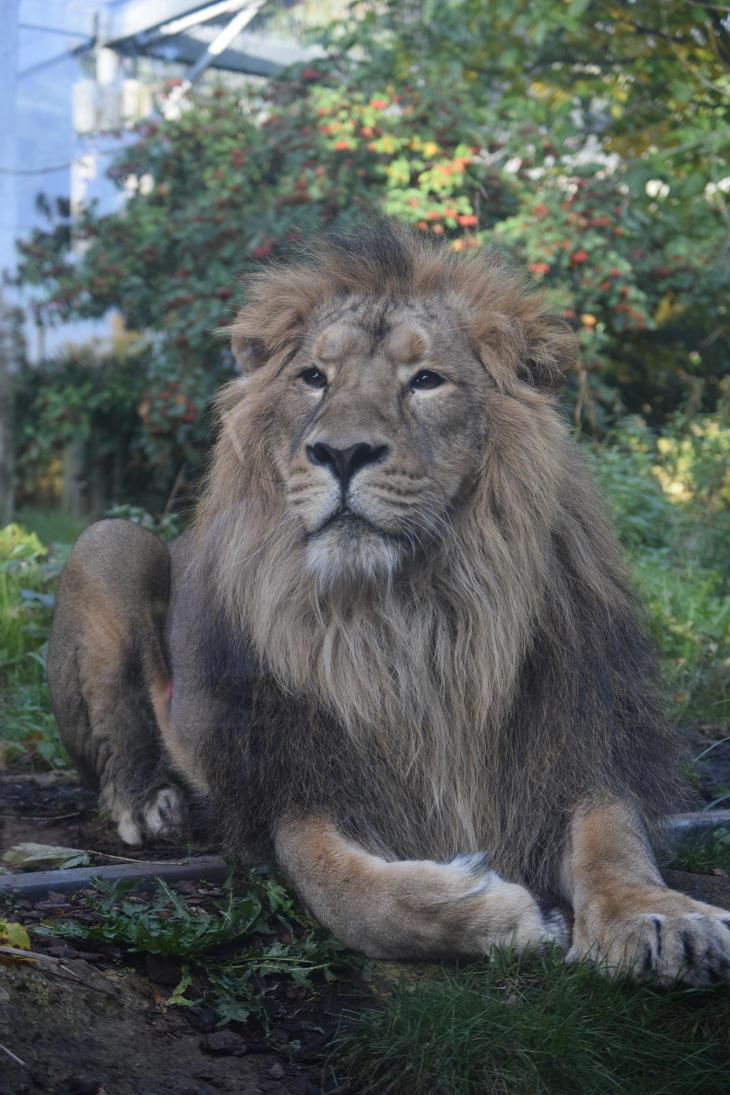 Asiatic Lion by WaltzAroundSaturn