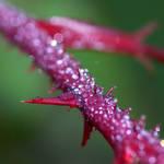 Dew Spines
