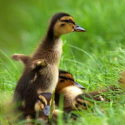 Duckling by SzandorDuBois