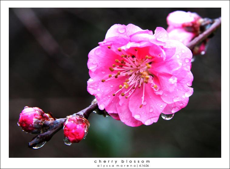 Dari Samurai Untuk Sakura