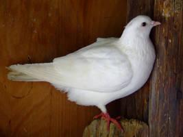 dove by SineticsStock