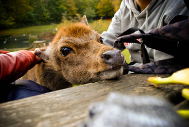 the brown nosed reindeer