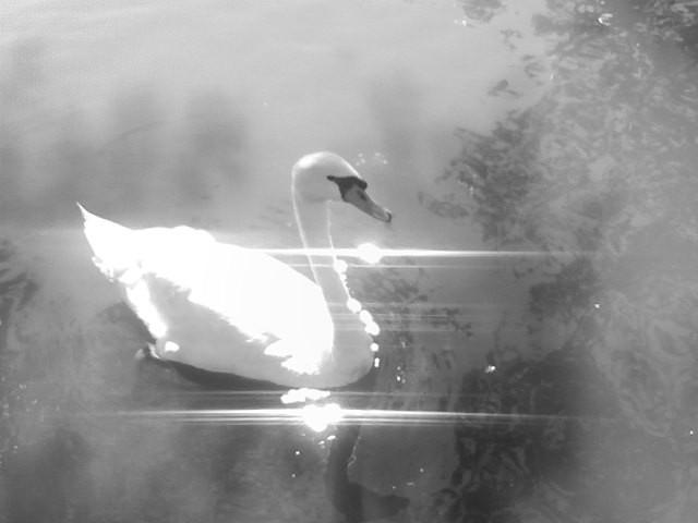 Sparkling Swan by suninrain12496