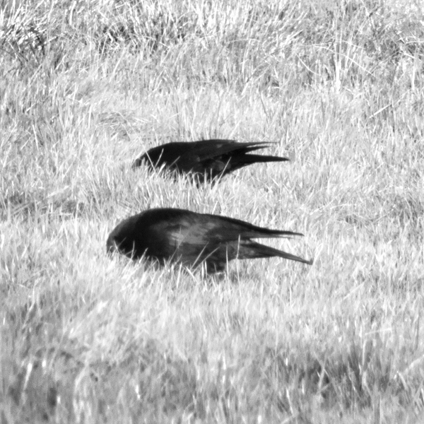 Hunting Crows 0238 by filmwaster