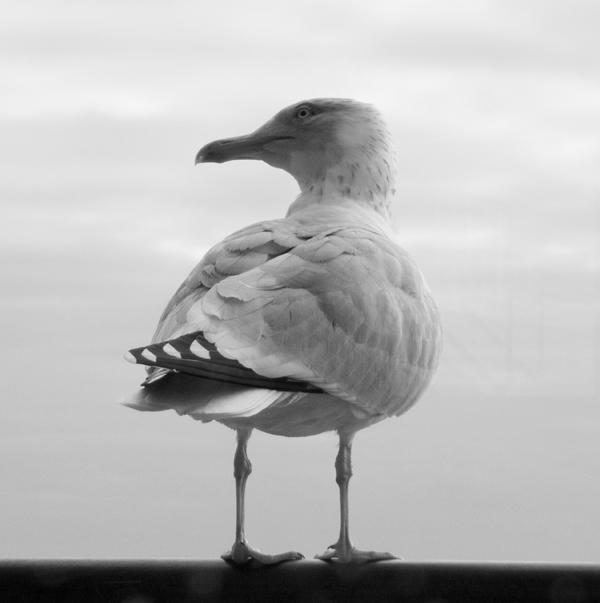 Gull0266 web by filmwaster