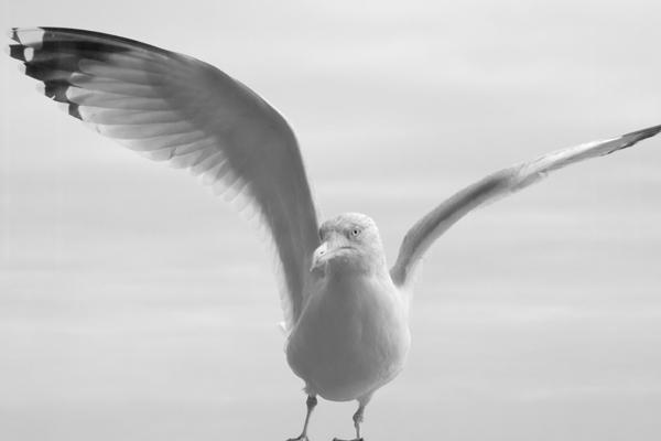 Gull 0267 by filmwaster