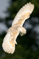 Barn Owl in Flight by Carlroberts99
