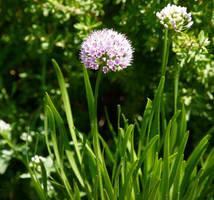 Allium by MoonlitRain011