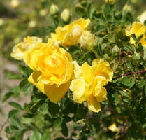 Yellow Rose by MoonlitRain011