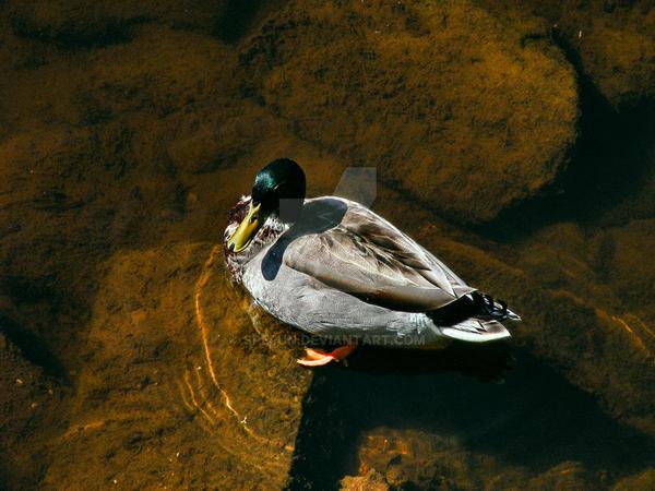 Duck by Spe4un