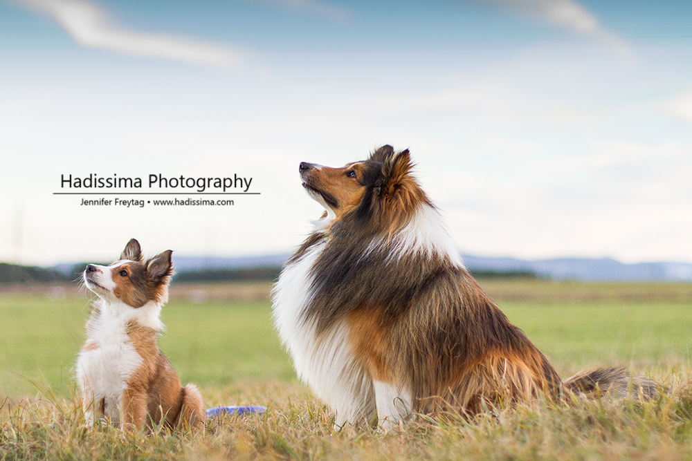 Two generations of Shelties by Hadissima