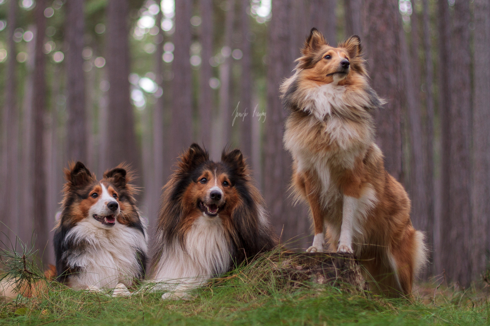 A group of Shelties by Hadissima