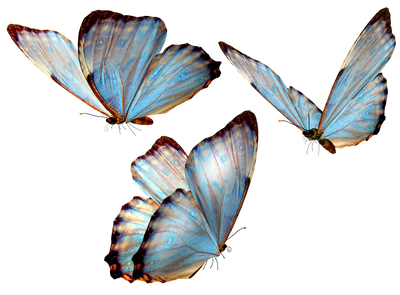 blue butterfly group - photo #22