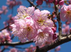 Cherry Blossoms by vanessyca71