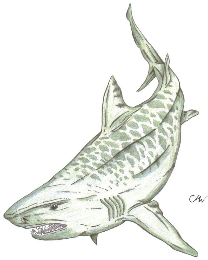 Uncategorized Tiger Shark Drawing tiger shark by leithster on deviantart leithster