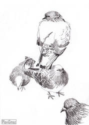 Pigeon sketches (1/3) by PlaviGmaz