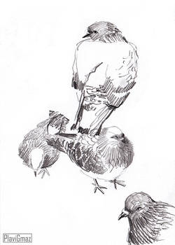 Pigeon sketches (1/3)