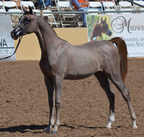Arabian Horse Show 32 by ColorWashStudios