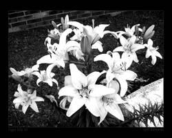 Tiger Lily III by maverick3x6