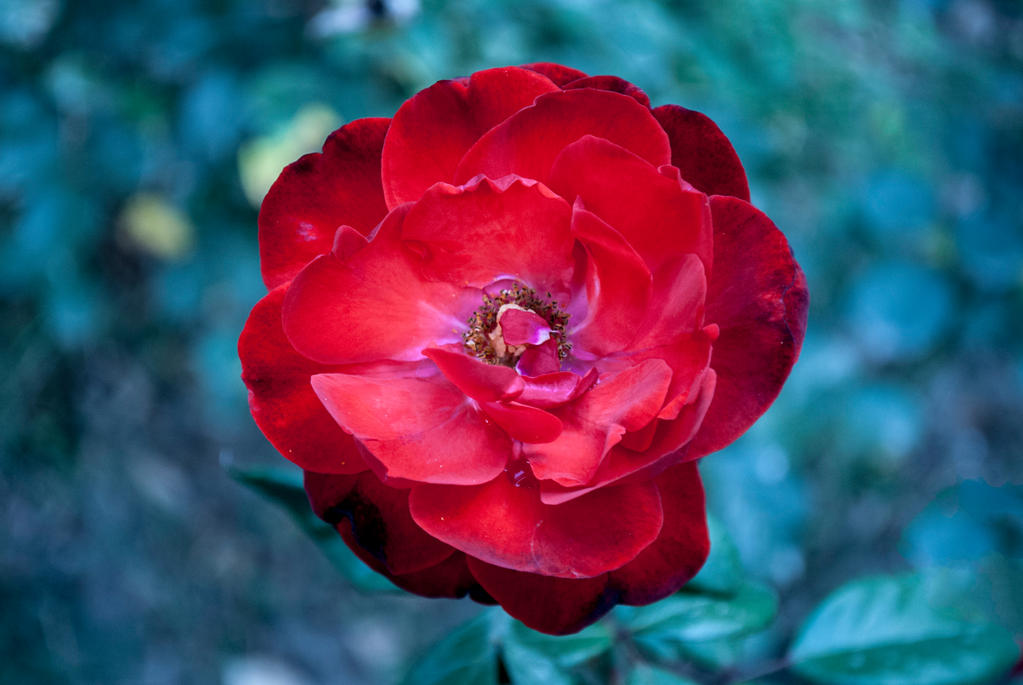 Rose by smlex2006