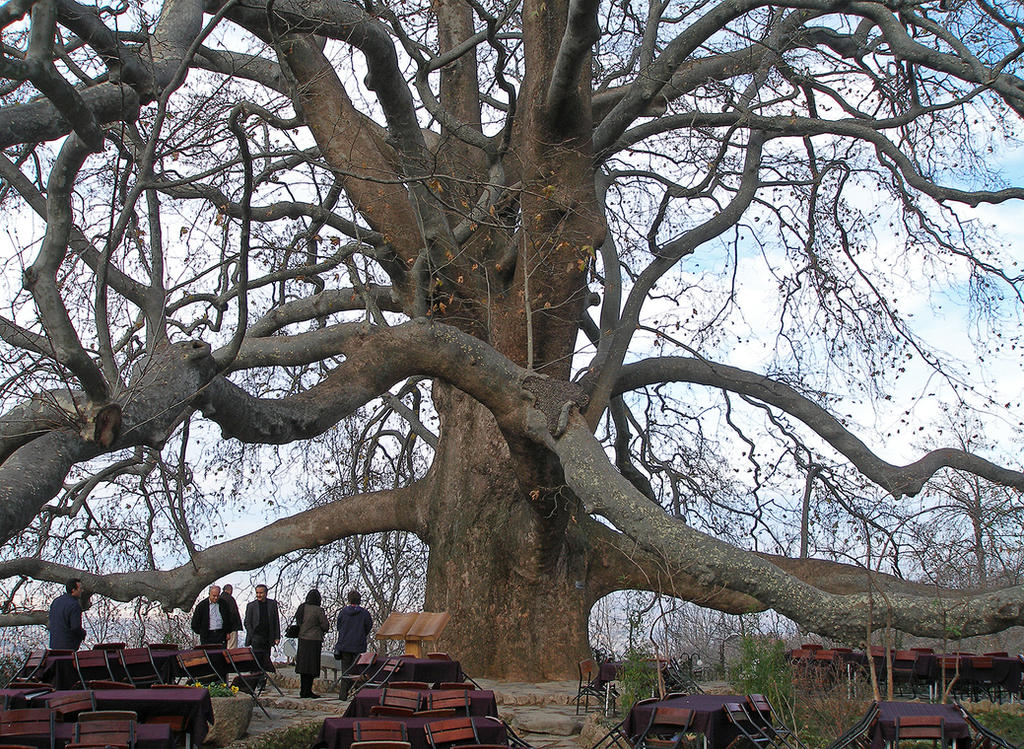 Chinar (The Plain-Tree) by tahirlazim