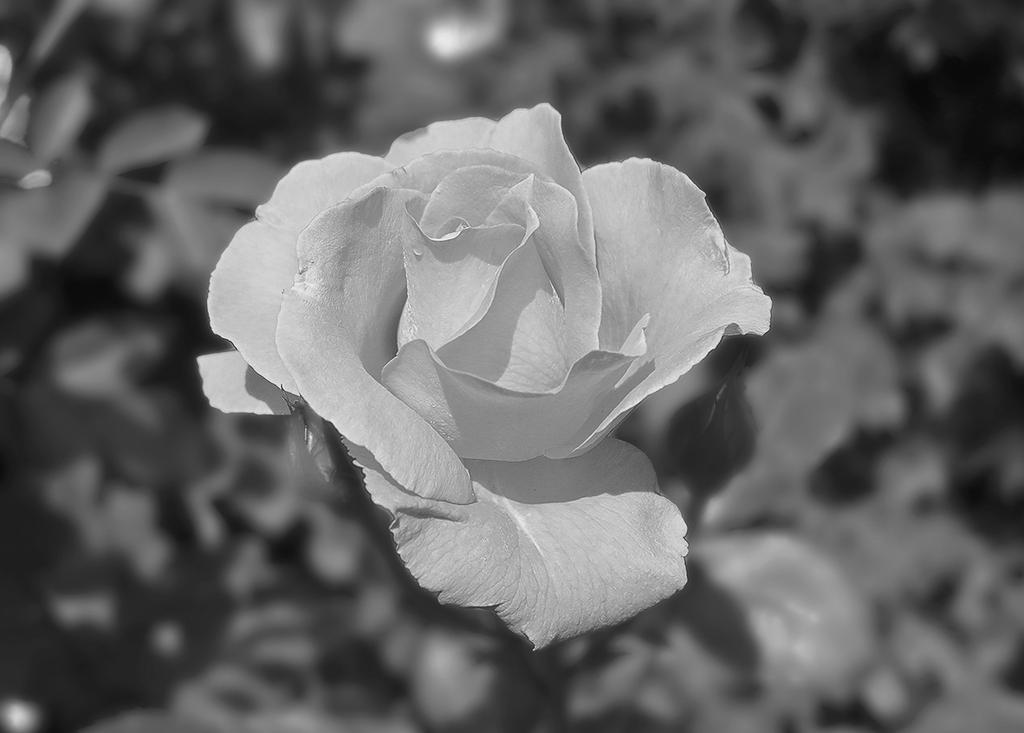 A Rose by tahirlazim