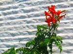 Aegean Flowers