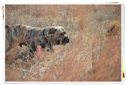 Bullmastiff King of the African Bush